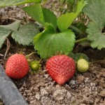 Strawberries project for developing countries