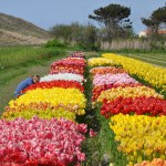 Abac Holland flower gardens