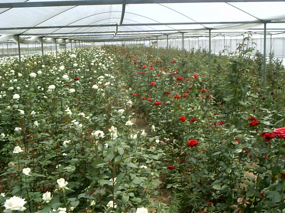Cultivation in greenhouses under supervision Abac Holland bv